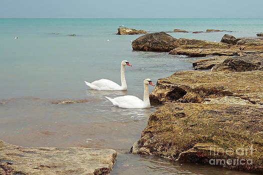 Pair of swans. by Alexandr  Malyshev