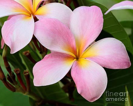 Sabrina L Ryan - Palacious Pink Plumeria