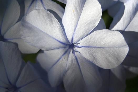 Tracey Harrington-Simpson - Pale Blue Plumbago Flower Close Up