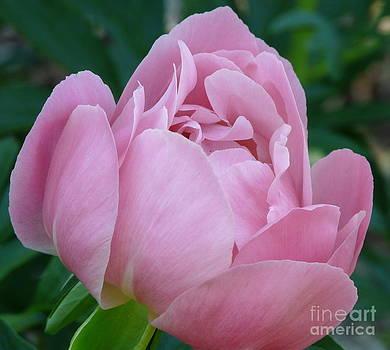 Pale Pink Peony by Avis  Noelle