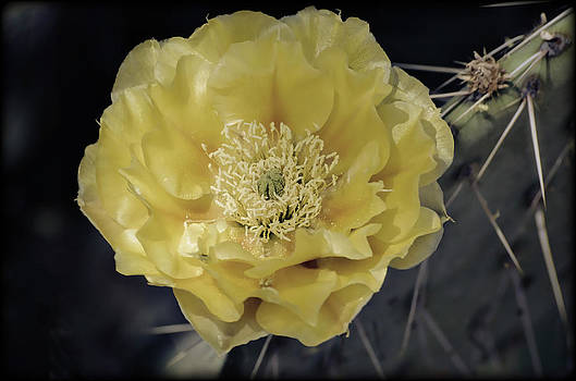 Saija  Lehtonen - Pale Yellow Prickly Pear Bloom