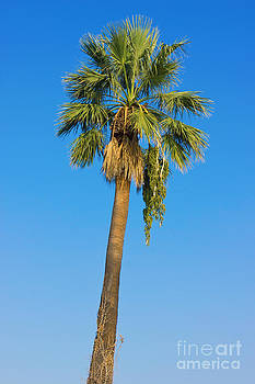 Palm Tree Over Clear Blue Sky by Kiril Stanchev