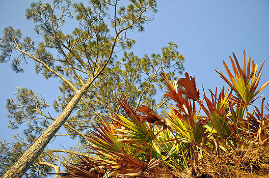 Palmettos and a Pine Tree Looking Skyward by Bruce Gourley
