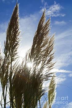 Pampas Grass Cortaderia Selloana Gramineae. by Paul Felix