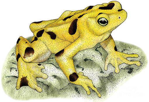 Roger Hall - Panamanian Golden Frog
