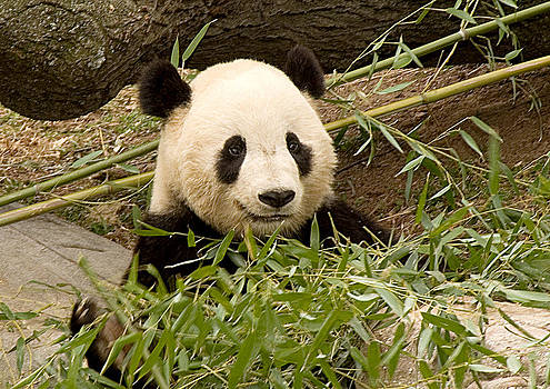 Panda in the National Zoo by Diane Lent