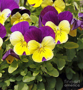 Pansies by Denise Pohl