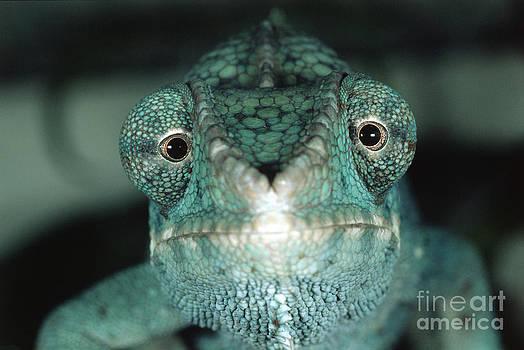 Gregory G. Dimijian - Panther Chameleon
