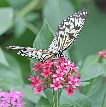 Kim Hojnacki - Paper Kite Butterfly - 2