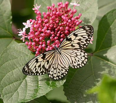 Kim Hojnacki - Paper Kite Butterfly