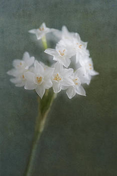Paperwhites by Jackie Schuknecht