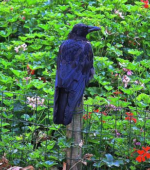 Paris Raven by Donna Quante