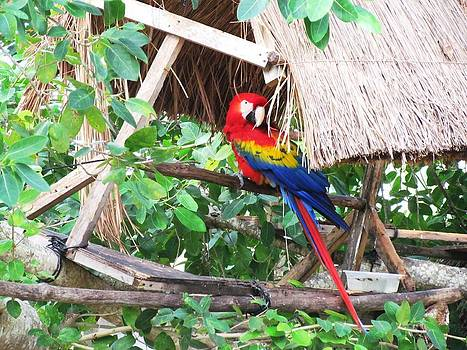 Parrot in Mexico by Dianne Furphy