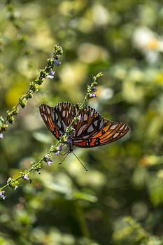 Lynn Palmer - Passion Butterfly