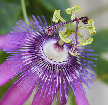 Passion Flower Close Up by Cathy Lindsey