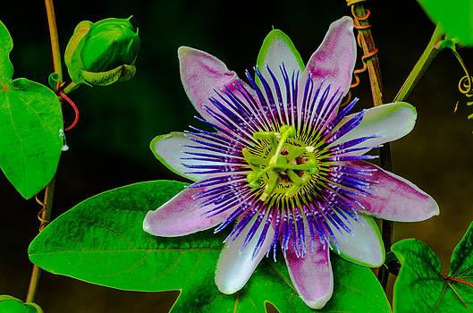 Passion Flower by Gordon H Rohrbaugh Jr