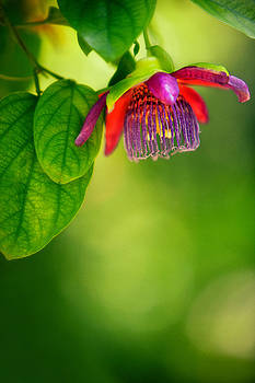 Passion Flower by Julio Solar