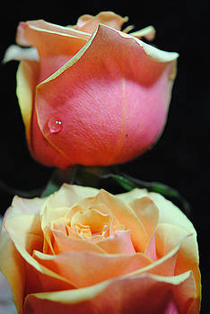 Cindy Boyd - Pastel Pink and Yellow Rose With Tear Drop