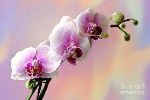 Pastel Rainbow Orchid by Judy Palkimas