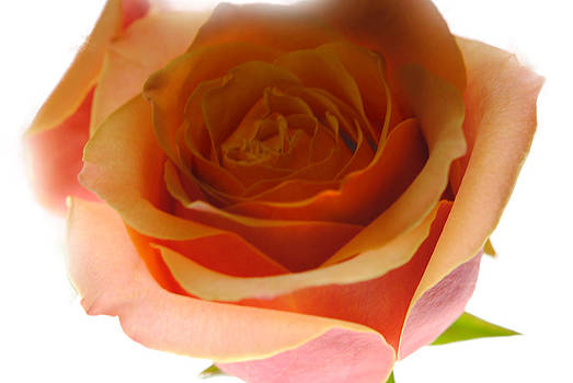 Cindy Boyd - Pastel Soft pink and Orange Rose Close Up