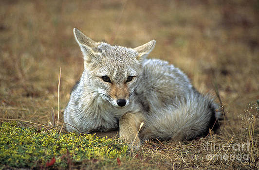 James Brunker - Patagonian grey fox