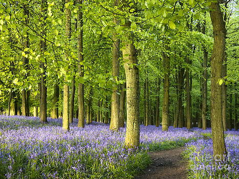 Path Through a Bluebell Wood by Elizabeth Debenham