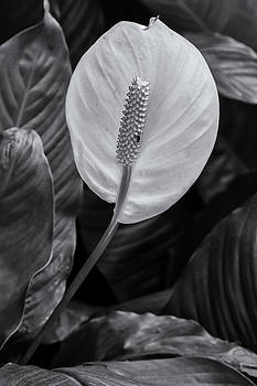 Peace Lily by Jonathan Wilkins