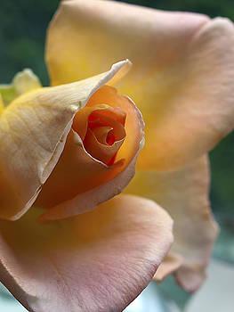 Peace Rose by Joe Schofield