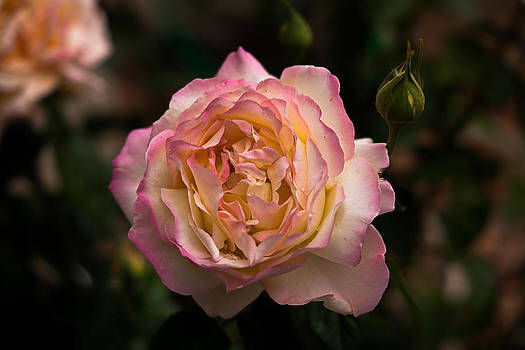 Peace Rose by Linda Storm