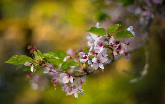 Mike Reid - Peaceful Cherry Light