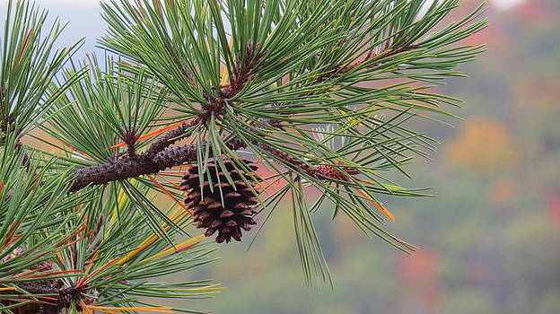 Peaceful Pinecone by Stephen Melcher