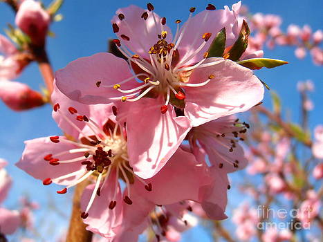 Peach blossom by Snezana Petrovic
