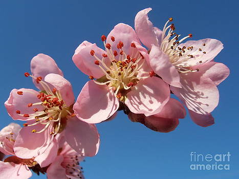 Peach blossoms by Snezana Petrovic