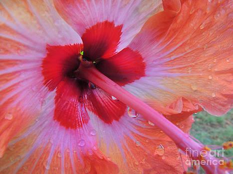 Peach Hibiscus by Kristine Merc