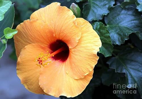 Peach Hibiscus by Margaret Hamilton
