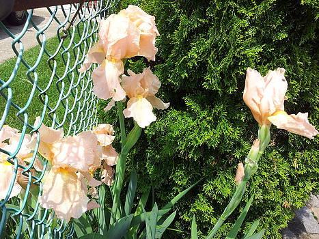 peach Irises by Theresa Crawford