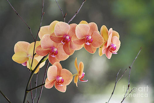 Peach Orchid by Pamela Gail Torres