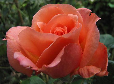 Peachy Rose by Jacqi Elmslie