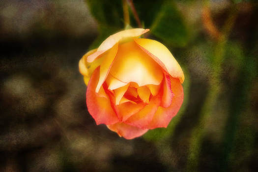 Peachy Rose by Joan Bertucci