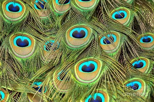 Adam Jewell - Peacock Abstract Closeup