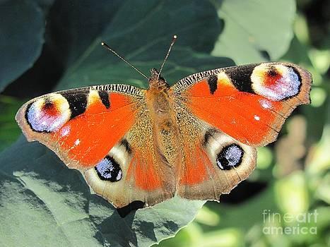Peacock Butterfly by Halyna  Yarova