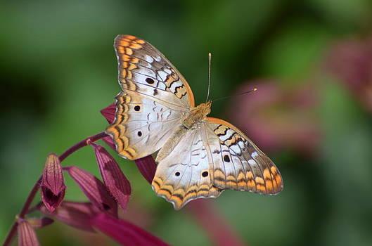Peacock Butterfly by Jodi Terracina