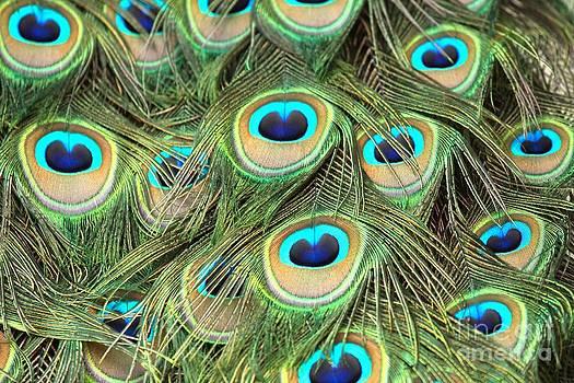 Adam Jewell - Peacock Circles