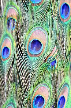 Peacock Feathers by Catherine Murton