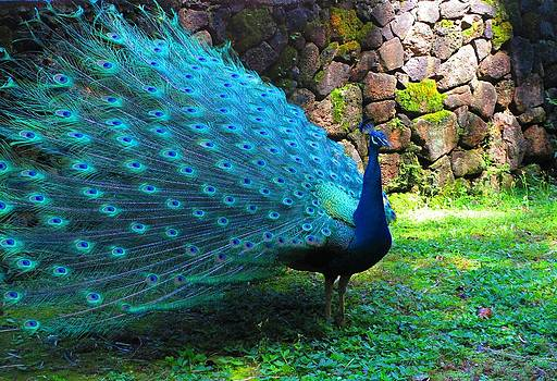 Peacock in all his Glory by Elaine Haakenson