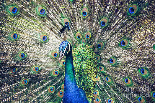 Peacock Indian Blue by Sharon Mau
