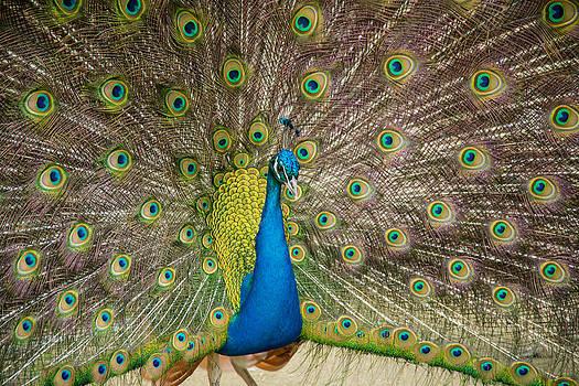 Martina Fagan - Peacock