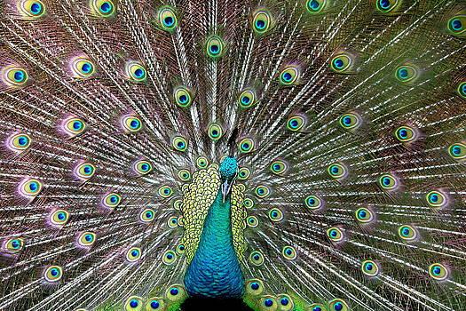 Peacock photo by Matt Matthews