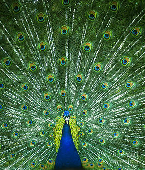 Peacock Tail Display by Alan Oliver