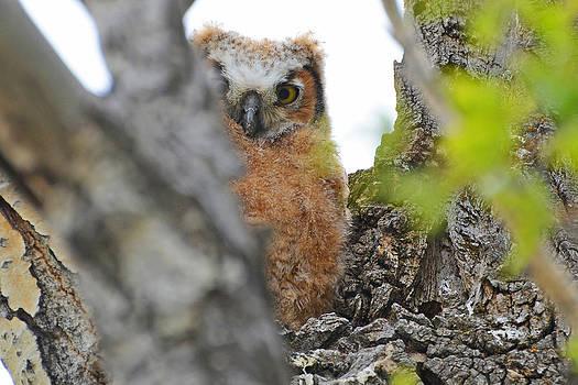 Owlet Peak-A-Boo by Eric Nielsen